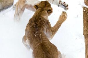 """狮子老虎大熊猫都玩嗨了!济南野生动物世界上演现实版""""冰雪奇缘"""""""