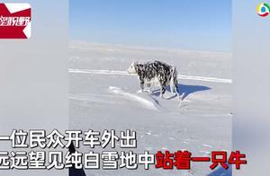 零下30度男子见雪地站着乳牛一动不动,上前一看惊呆了