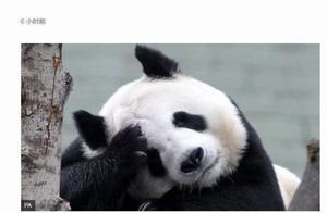 英媒:迫于经济压力 英国考虑将大熊猫送回中国