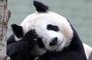 爱丁堡动物园没钱了,大熊猫阳光和甜甜明年或被迫回中国
