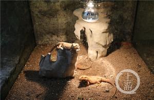 重庆动物园小家伙们怎么过冬?浴霸、空调、地暖、油汀安排上了