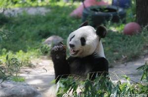 27岁大熊猫吉妮因病去世 北京动物园:我们将永远怀念它