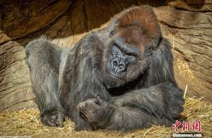 美国加州一动物园至少两只大猩猩感染新冠病毒