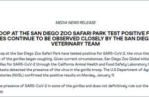 美国动物园内大猩猩感染新冠,正集体隔离