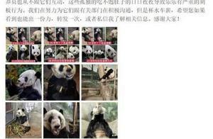 官方回应旅美大熊猫瘦骨嶙峋是怎么回事?患有皮肤病所以状态不好