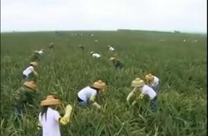 大陆也有顶级菠萝!每3个中国菠萝就有1个来自这里,网友调侃:菠萝的海