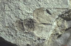 """科学家发现1.1亿年前""""蟑螂亲戚"""""""