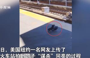 网友拍到两只鸽子将同伴推下铁轨 网友:像极了黑社会电影中的名场面