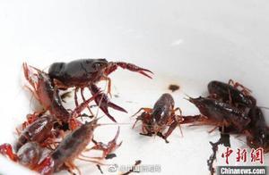 长江十年禁渔 政协委员建议加强小龙虾等入侵物种生态防控