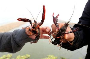 长江十年禁渔,政协委员建议加强小龙虾等入侵物种生态防控