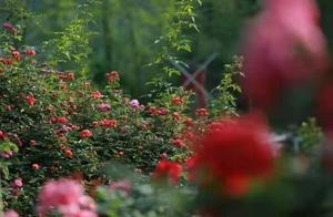 开州玫瑰文化旅游季3月25日开幕 200亩玫瑰等你来