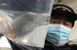 发现12尾鱼及鱼卵!西安海关首次截获活体观赏鱼