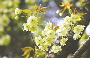 特殊天气产生少有美景 无锡中樱晚樱花期无缝衔接
