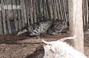 """雪豹袭击羊群 吃太饱""""被困""""索性躺羊圈睡大觉"""