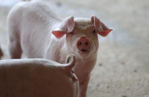 """日本痛失一""""金字招牌""""!群马县和奈良县发生猪瘟疫情"""