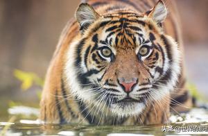 关于狮子和老虎的争论一直不休,究竟谁更符合百兽之王的称号?