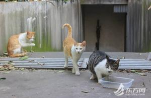 TNR调查 上海民间组织2年为上千只流浪猫做绝育,推广难在哪?