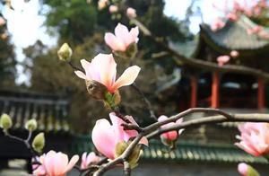 """武侯祠内""""植物熊猫""""—古旱莲已盛开,快来赏花、祈福!"""