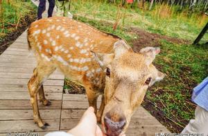 在阿尔山白狼镇,去约会那只网红小鹿,打卡《亲爱的客栈》拍摄地