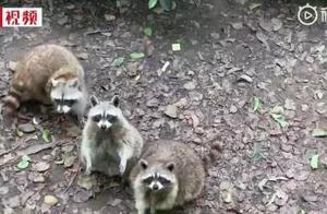 浣熊吃到胖成了球 动物园呼吁游客:别再喂啦!