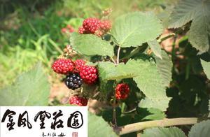 黑莓、蓝莓、草莓等健康水果营养素大PK