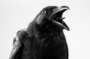 地球的另一种智慧生物?科学家发现乌鸦有意识,不愧是最聪明鸟类