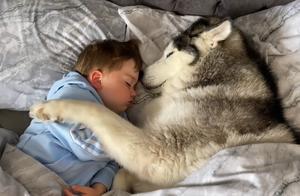 小主人不要爸爸陪,点名要二哈哄它睡觉,狗:当爹又要当妈