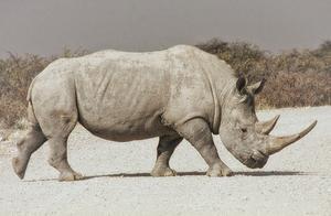 """地球上仅剩两只雌性北白犀,我们该如何让她们""""生孩子""""?"""