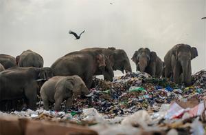 野象改吃生活垃圾,还把塑料当食物,看的让人心碎