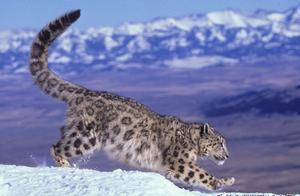 同样是大型猫科,老虎狮子可以震天咆哮,而雪豹却只能嘤嘤嘤?