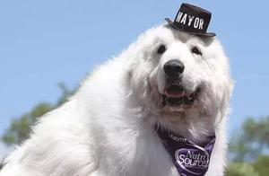 选一只狗当镇长,美国人是怎么想的?别奇怪,还有选刺猬的呢!