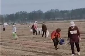 持续发酵!河南承包商收花生时遭村民哄抢,村干部:人多管不住