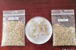 嫦娥五号水稻种子发芽了?惊喜的背后,还有辛酸和希望