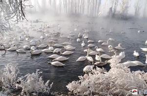 雾气飘渺天鹅起舞 雾凇装扮伊宁县天鹅泉湿地公园宛若童话世界
