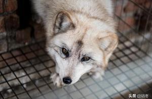 甘肃敦煌鸣沙山最近又火了,月牙泉附近惊现一只白狐,完全不怕人