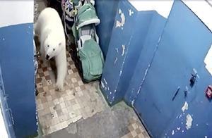 一群可怜的北极熊!竟然沦落得像猪一样,闯进小镇垃圾场拱垃圾吃