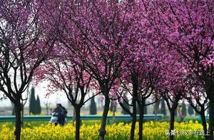 快看,汉中勉县千棵美人梅与万亩油菜花竞春光