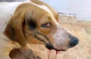 一律毒杀!缅甸小镇,政府下令毒杀流浪狗,中毒流浪狗满嘴血