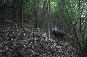 """继青海后,广东也发现珍稀动物""""四不像"""",拍摄到的画面清晰"""
