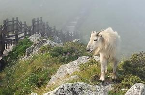 两头羚牛散步太白山景区
