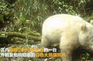 超罕见!全球唯一白色大熊猫,长大变金白色,熊猫没有黑眼圈