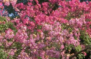 江门:美丽异木棉绽放 浪漫粉红冬如春