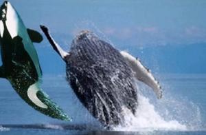 座头鲸的特殊癖好:阻止虎鲸狩猎,这是什么仇什么怨