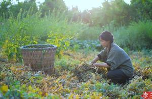 """收了去年种下的豌豆,做一顿实实在在的""""豌豆宴"""""""