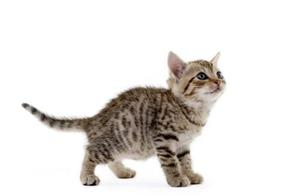为什么猫从高处掉下来摔不死?看完后了解,网友:猫的本领不简单