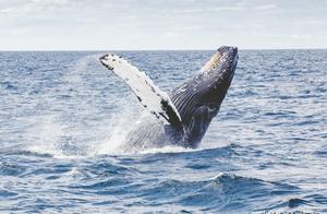 最大的动物蓝鲸,一口就能吞食几十吨磷虾,却无法吞下一个人