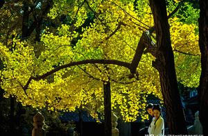 难忘深秋,在北京这座千年古刹里,我看到了最美的银杏树