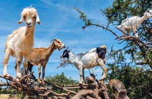"""秋天来了,摩洛哥的树上又开始""""长满""""山羊,山羊会爬树?"""