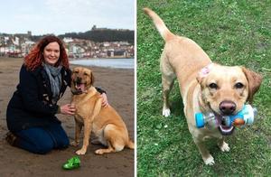 拉布拉多犬凭特殊才艺走红 跟主人天天清理海滩垃圾