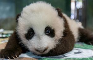 旅美大熊猫美香幼崽征集名字:福仔、小奇迹、幸福、仔仔四选一